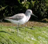 Picture of a Greenshank on the shoreline