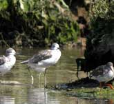 Picture of a group of Greenshanks on the shore
